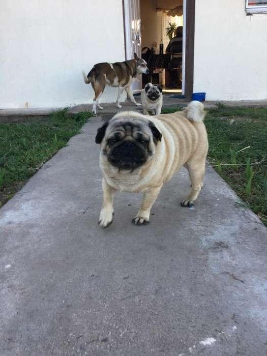 Pug para Servicio