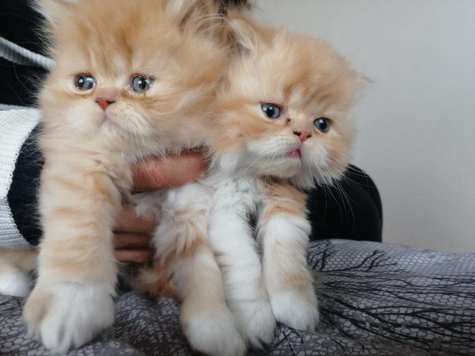 Gatos Persa.