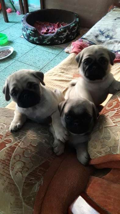 Cachorros Pug Carlino en Venta