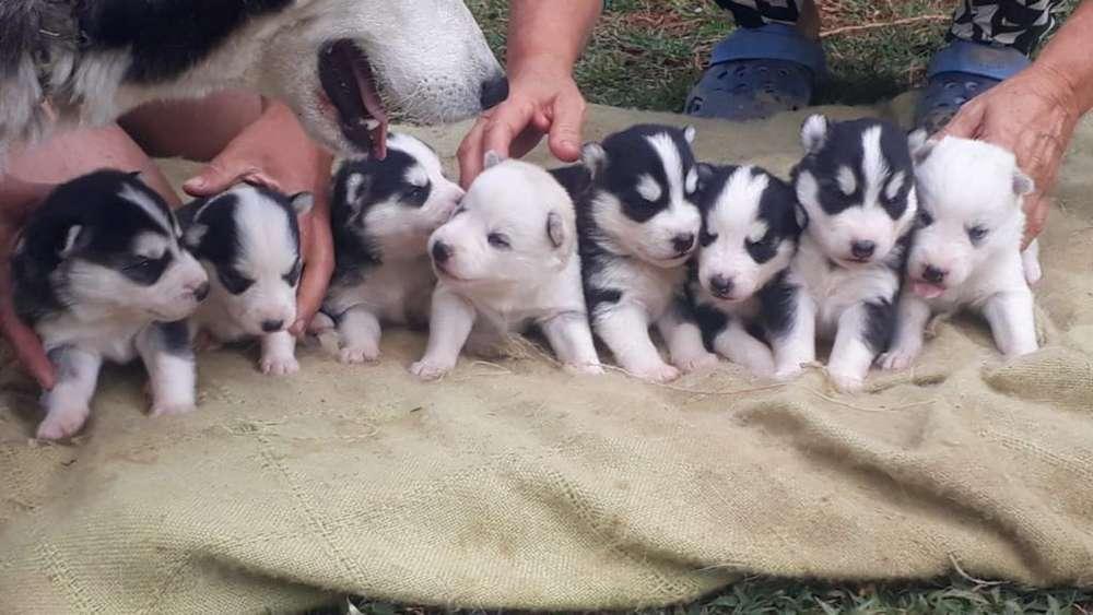 Se Vende Husky Siberianos Cachorros