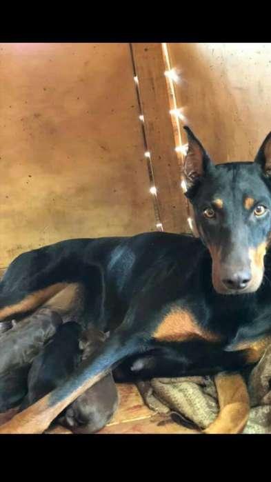 Cachorritos Doberman Aleman
