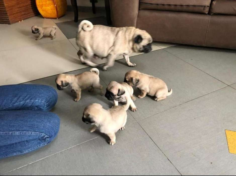 Pug carlino mini padres con registro mexicano de pedigree