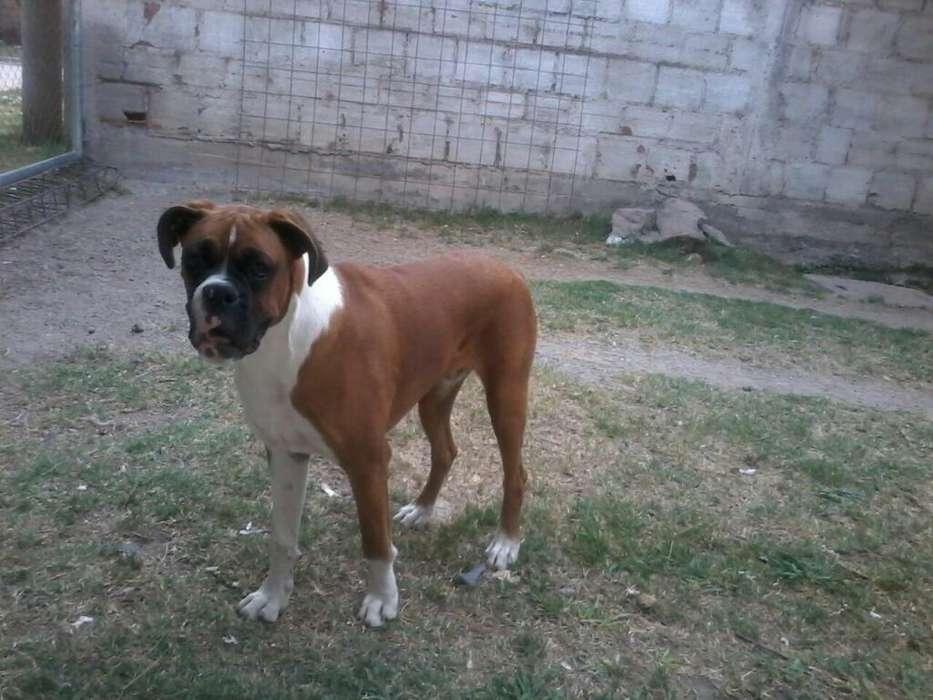 Servicio de Monta Perro Boxer