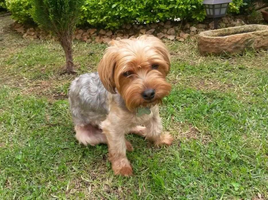 <strong>perrito</strong> Yorki Terrier Busca Novia