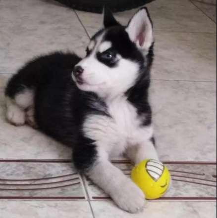 Se vende ultimo cachorro husky siberiano