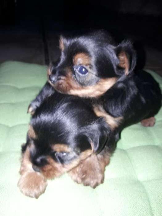Preciosos Cachorros Yorkshier