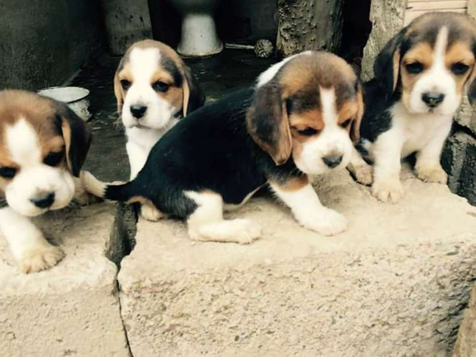 <strong>beagle</strong>s Enanos Toreto