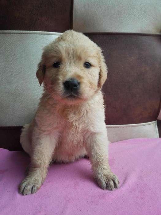 bondadosos golden <strong>cachorro</strong> desparasitados