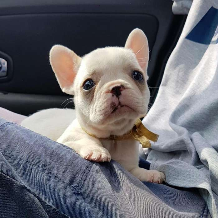 Bulldog Frances Tarjeta 12 Cuotas
