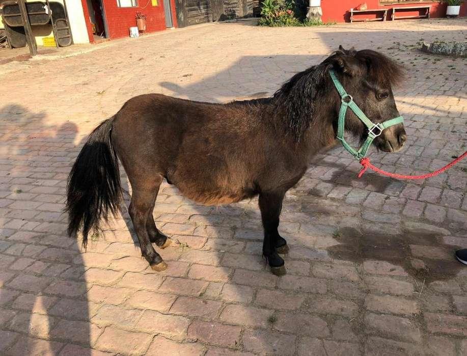 Pony Shetland Macho Entero