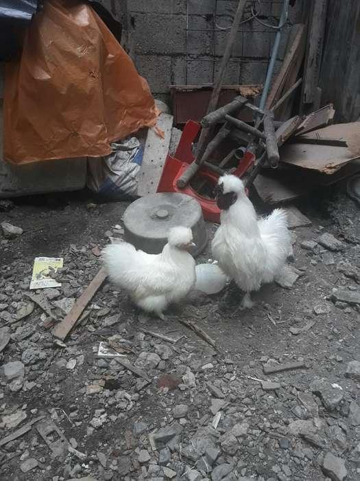 Pollos Polocas