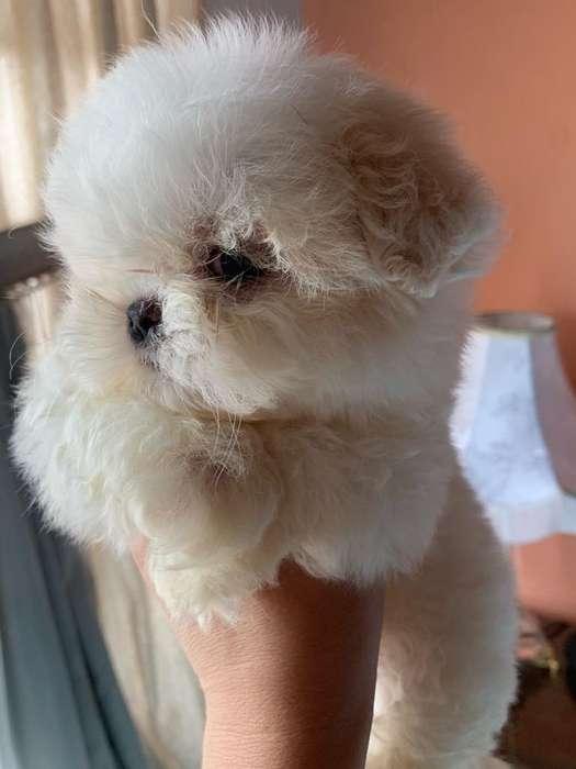 <strong>cachorro</strong>s Shitzu Mini Toy 0999222799