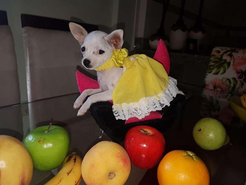 Chihuahua Hembra de Cartera