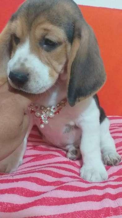 <strong>beagle</strong>s Muy Bellos Certificados