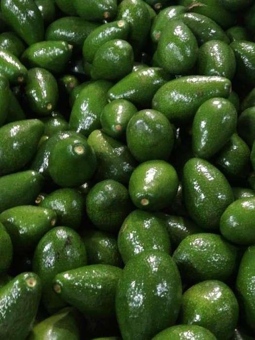 Semilla de Palta/ Aguacate variedad Zutano.