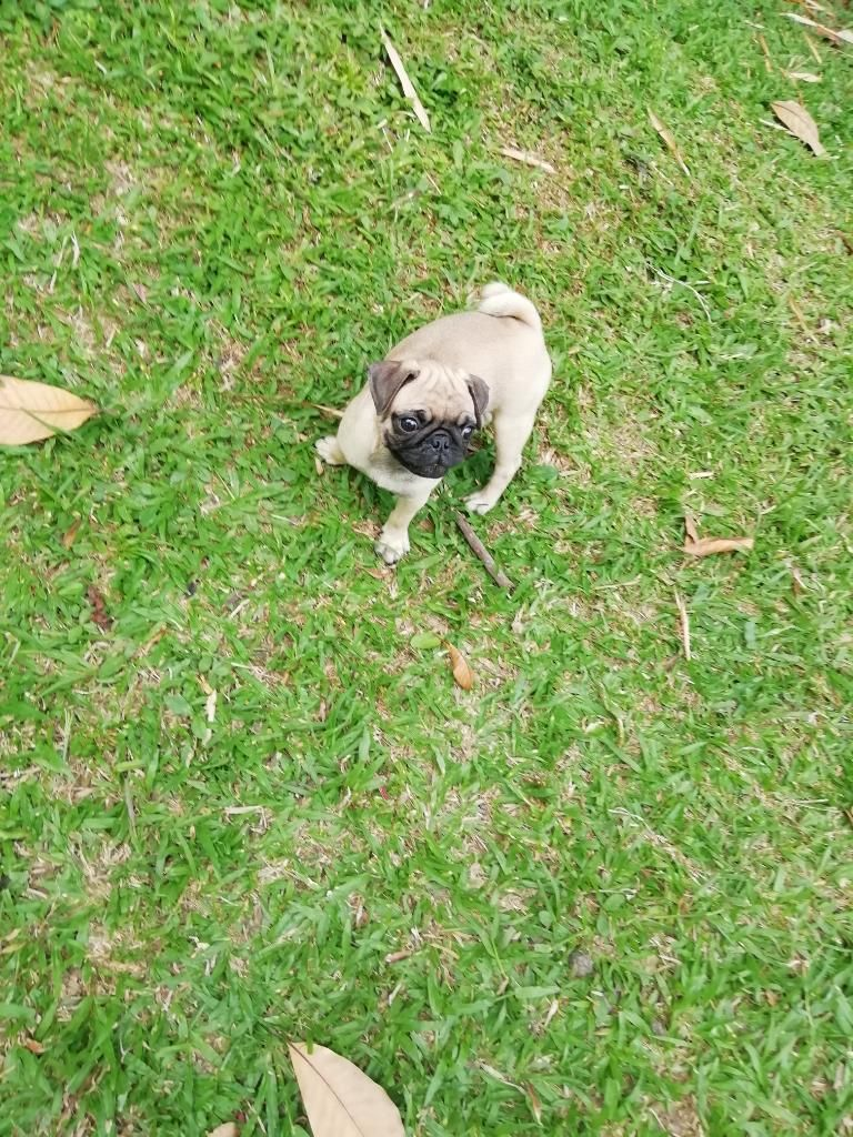 Cachorros Pug Carlinos Patas Cortas Mini