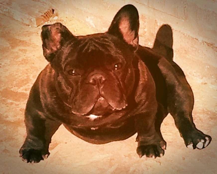Bulldog Frances en Servicio de Stud