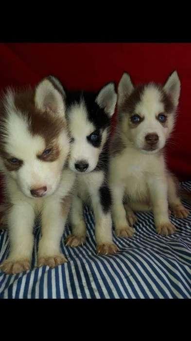 Lobos Huskys Siberianos Disponibles