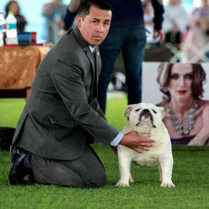 Gran <strong>bulldog</strong> Ingles Importad para Monta