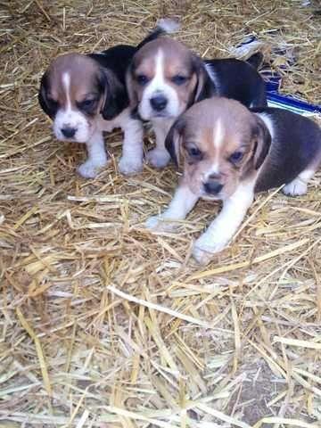 esplendidos cachorros beagle 13 pulgadas 100% puros tricolores hembras y machos disponibles