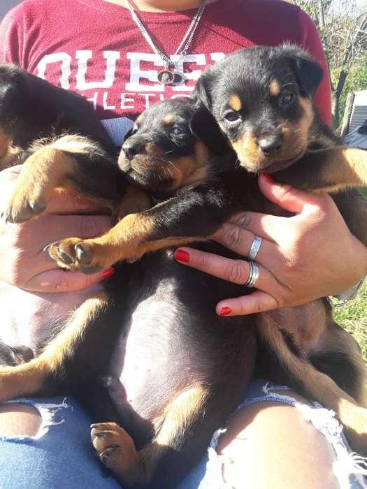 Ultimos 3 Rottweiler