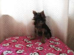 York Shire Terrier Mini Pura Raza