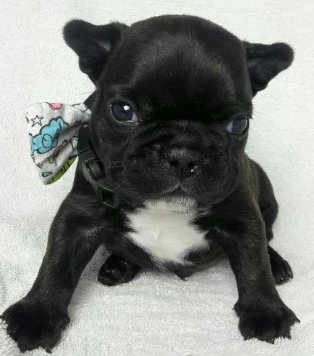Hermoso Bulldog Francés