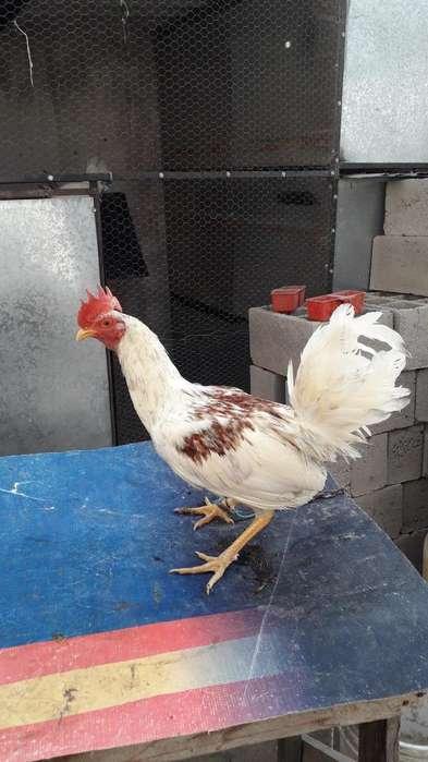 Gallos Y <strong>pollos</strong>