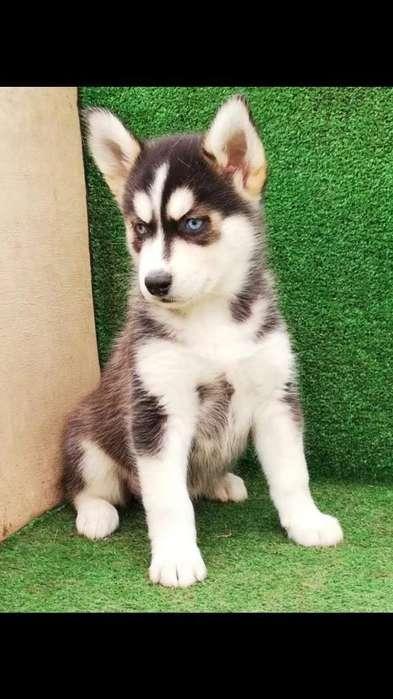 Hermosos Cachorros Huskys Siberianos