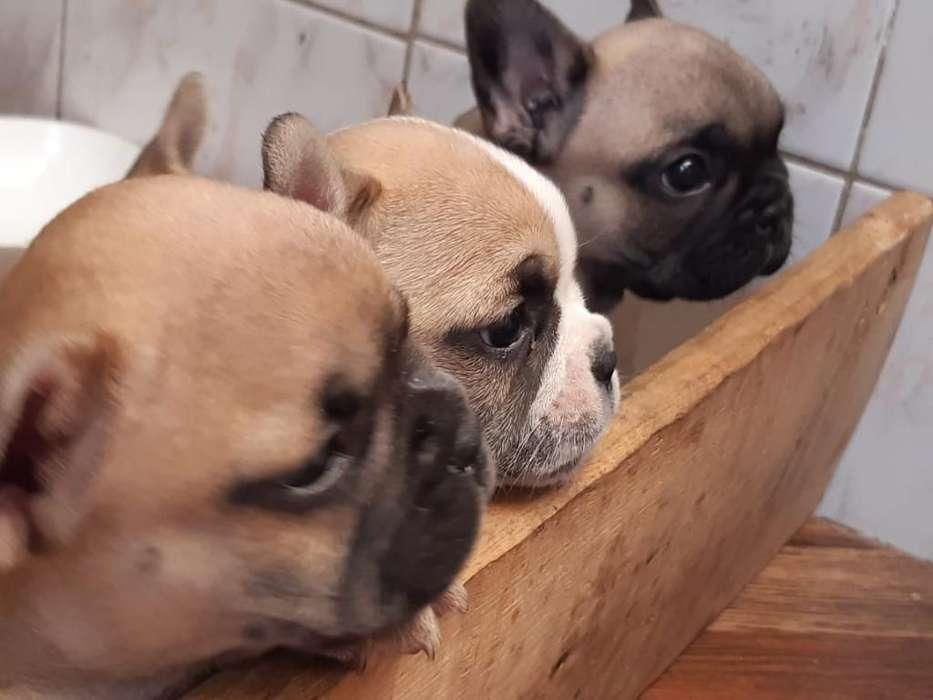 Venta de <strong>cachorro</strong>s Bulldog Francés