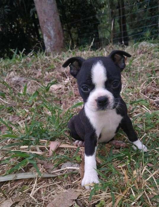 Cachorros Boston Terrier Mini