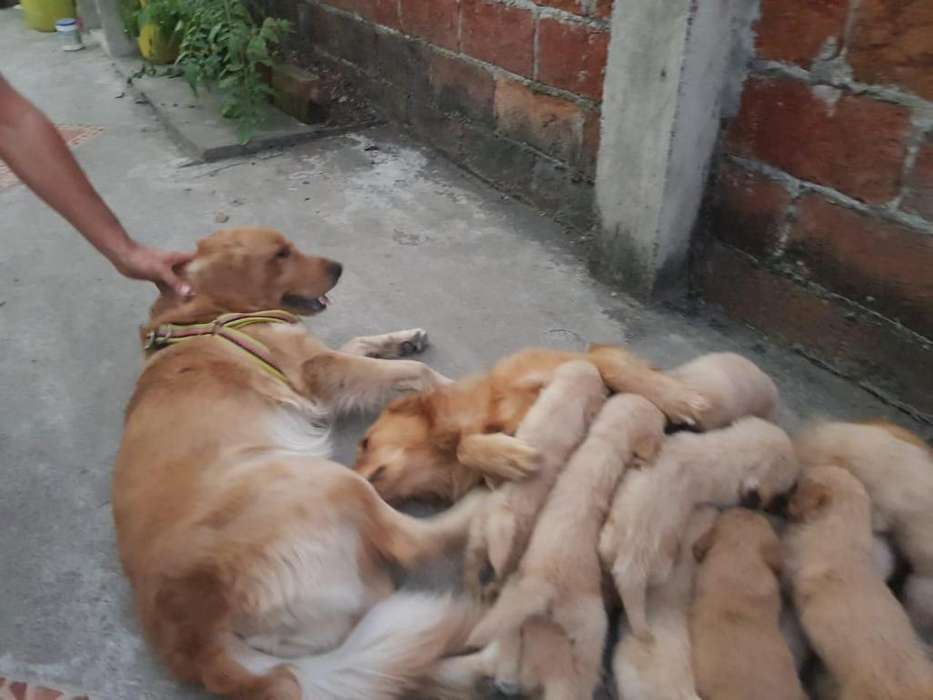 Cachorros Golden de 2 meses