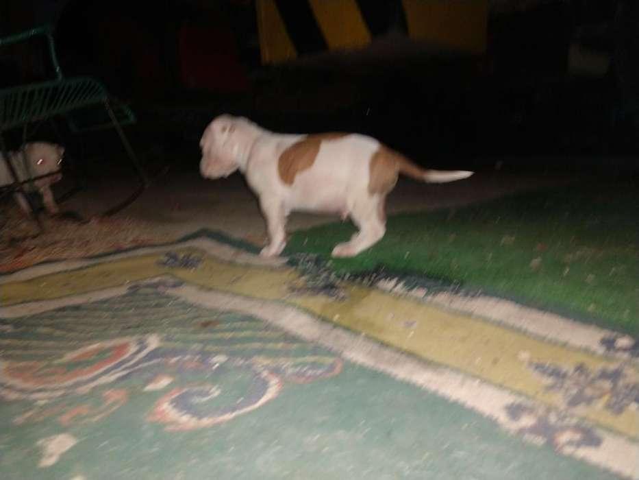 Se Vende Cachorro Pitbull Terrier