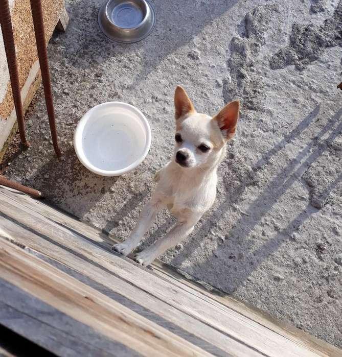 Chihuahua Macho para Monta Ibarra