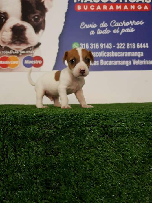 Cachorros Jack Russell <strong>terrier</strong>s