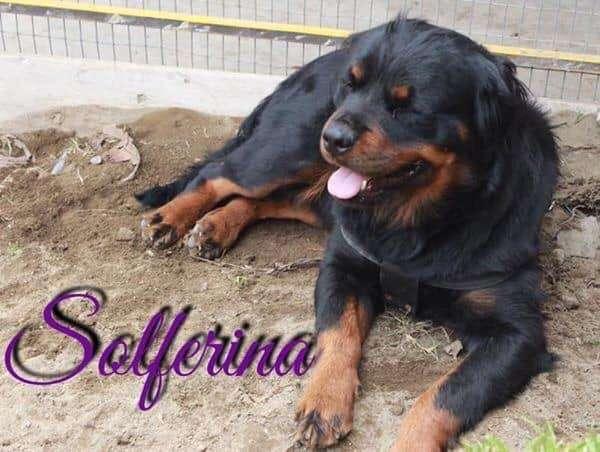 Rottweiler Pelo Largo Hembra 0995840514