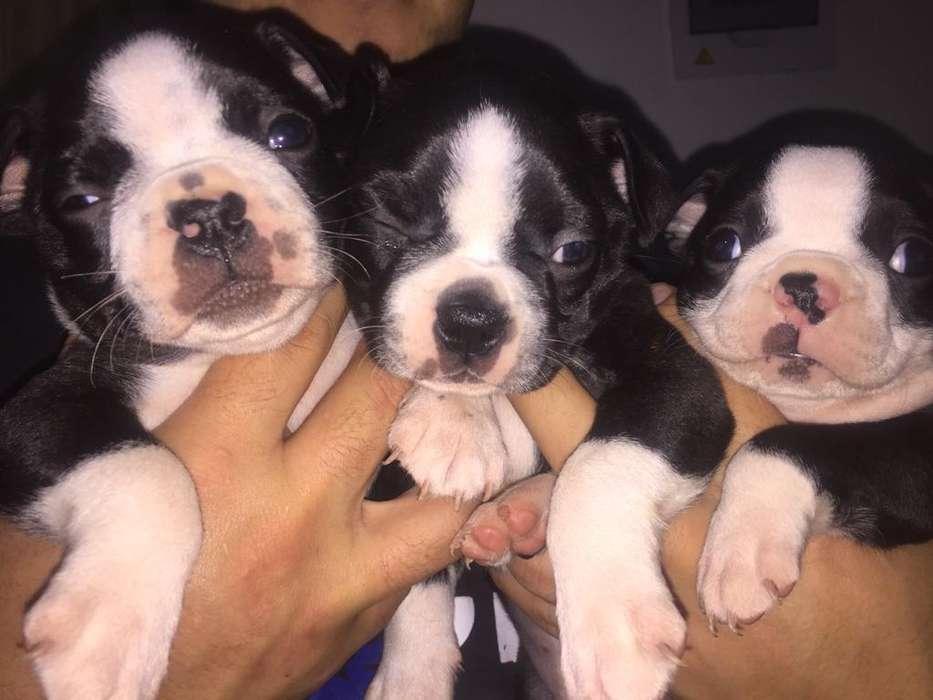 Vendo Cachorros Boston Terrier