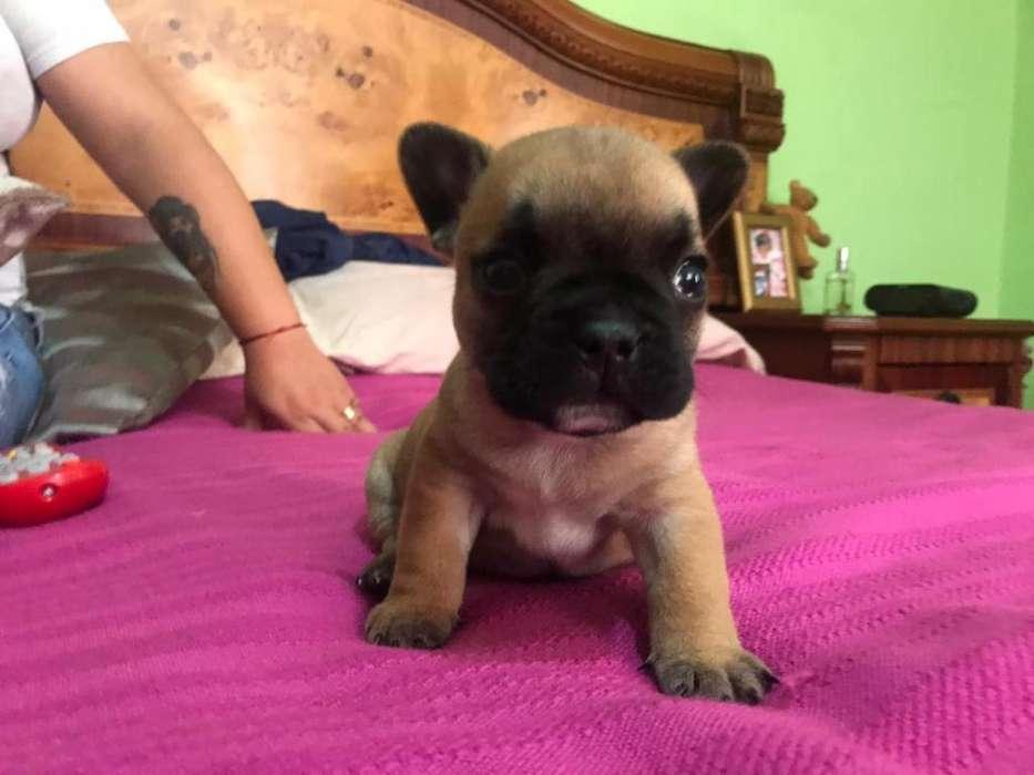Cachorro Siervo Rojo Bulldog Frances