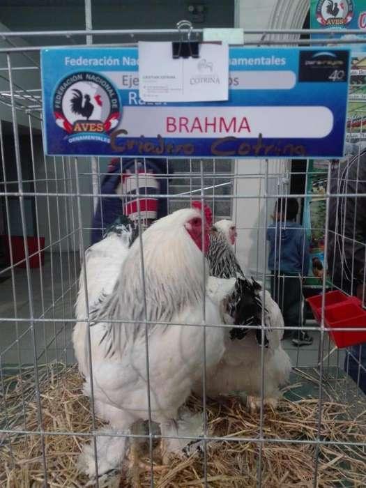 brahmas gigantes pollitos gallo gallina