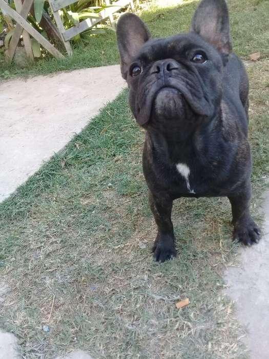 Vendo Buldog Frances <strong>perra</strong> de Un Año