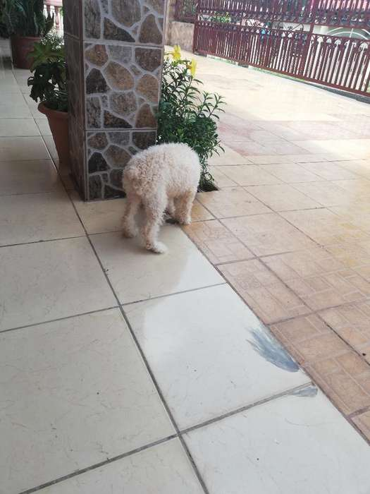 Vendo French Poodle