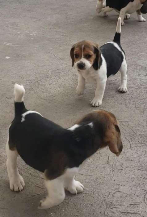 <strong>beagle</strong>s de venta