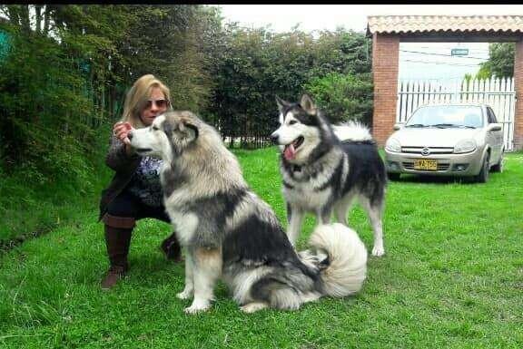HERMOSOS <strong>cachorro</strong>S ALASKAN MALAMUTE