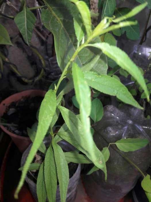Plantin de Durazno