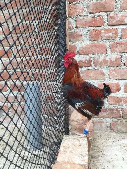 Gallo <strong>pollos</strong> 1
