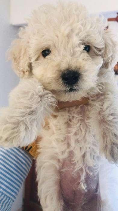 Hermoso Cachorro Caniche Macho