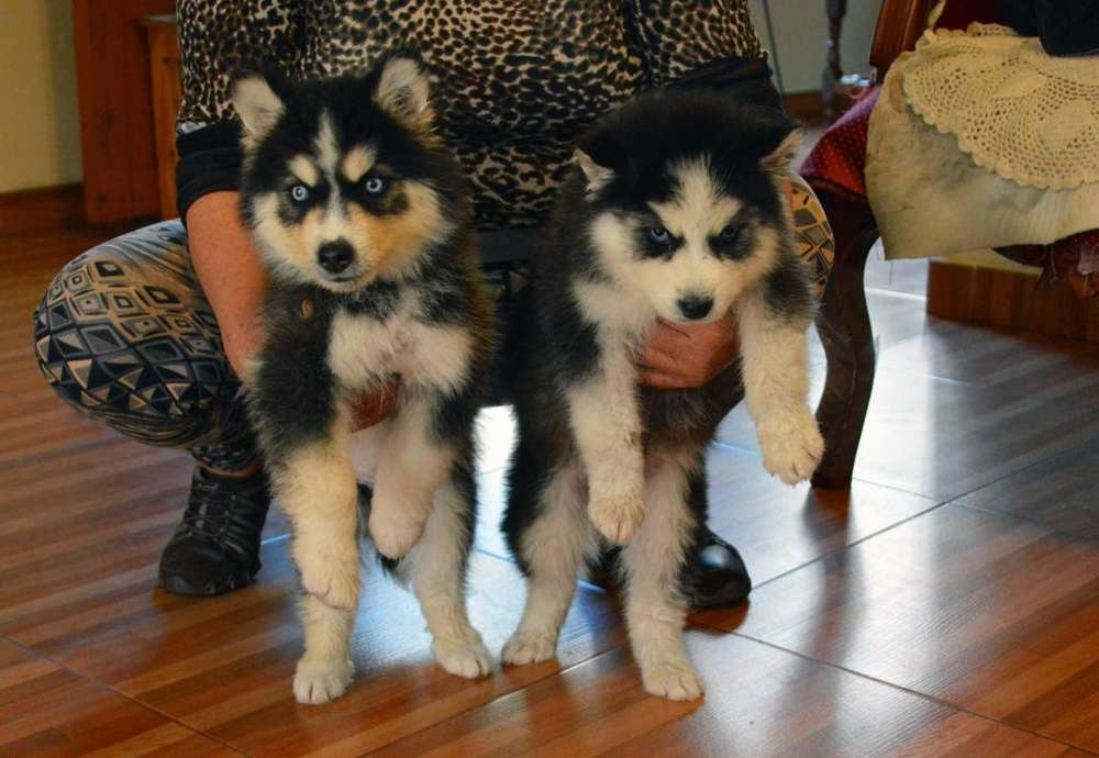 Vendo perritos huskys siberianos