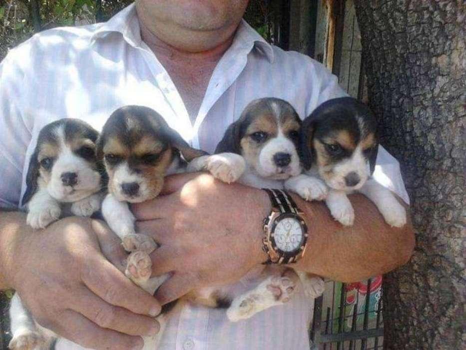 Vendo Beagles