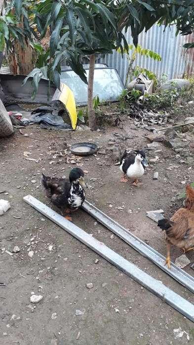 Vende Pareja de <strong>patos</strong> Chinos