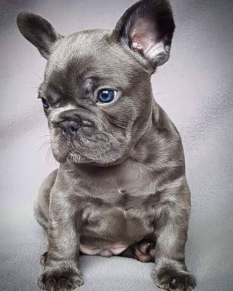 *PET SHOP VENDE BULLDOG FRANCES BLUE*